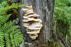 生长在一个老树桩的蘑菇在森林 免版税库存图片