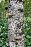 生长在一个老树桩的蘑菇在森林 库存图片