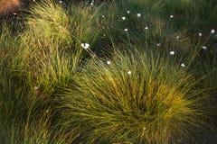 生长在一个自然沼泽栖所的Cottongrass 在weltalnds的草丛 库存图片
