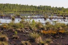 生长在一个自然沼泽栖所的Cottongrass 在weltalnds的草丛 图库摄影