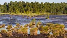 生长在一个自然沼泽栖所的Cottongrass 在weltalnds的草丛 免版税库存图片