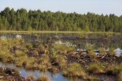 生长在一个自然沼泽栖所的Cottongrass 在weltalnds的草丛 库存照片
