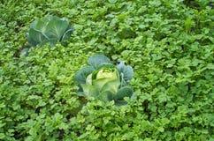 生长在一个菜园的圆白菜 库存照片