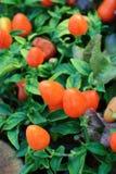 生长在一个菜园里的辣椒 免版税库存照片