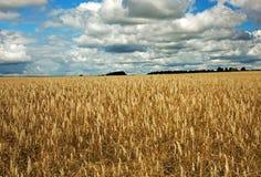 生长在一个领域的燕麦在夏天 库存照片