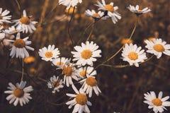 生长在一个领域的野生雏菊在夏天 库存图片