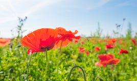 生长在一个领域的野花在阳光下 库存图片
