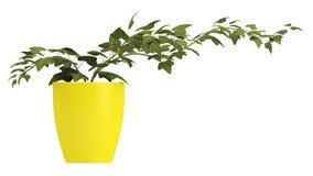 生长在一个黄色罐的常春藤 免版税库存照片