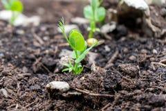 生长在一家庭菜园的天然肥料土壤外面的豌豆射击,在春天季节 使用作为microgreen或增长为荚 库存照片