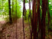 生长在一条供徒步旅行的小道的藤 库存图片