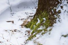 生长在一棵多雪的树的基地的青苔 库存图片