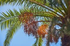 生长在一棵棕榈树的可口新日期在大加那利岛,西班牙 免版税图库摄影