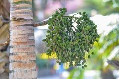 生长在一棵棕榈树的可口新日期在大加那利岛,西班牙 图库摄影
