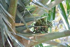 生长在一棵棕榈树的可口新日期在大加那利岛,西班牙 库存图片