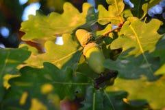生长在一棵橡木的绿色橡子在春天在公园 免版税图库摄影