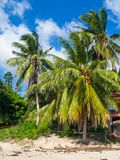 生长在一棵绿色棕榈树的椰子反对天空蔚蓝 库存图片