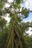 生长在一棵老树的扼杀者无花果 库存图片