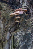 生长在一棵老死的树的蘑菇 免版税图库摄影