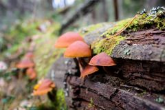 生长在一棵腐烂的树的一个小组蘑菇 免版税库存照片