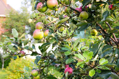 生长在一棵苹果树的红色和绿色苹果在庭院里 在分支的苹果 收获的概念,有机不是被对待的wi 免版税图库摄影