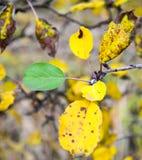 生长在一棵苹果树的绿色叶子在秋天 免版税图库摄影