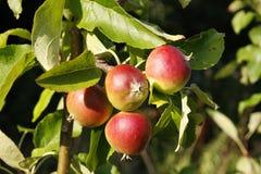 生长在一棵苹果树的苹果在夏天 库存照片