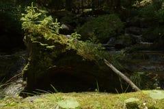 生长在一棵被连根拔的树的根的年轻树 免版税库存图片