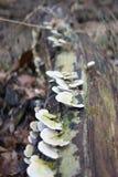 生长在下落的日志的蘑菇 库存图片