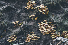 生长在下落的树之间根的小组蘑菇  库存图片