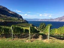生长在不列颠哥伦比亚省葡萄园里的葡萄在秋天,欧肯纳根湖 免版税库存图片