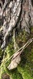 生长在与一片大棕色叶子的树皮的青苔详细的照片在前景 库存图片
