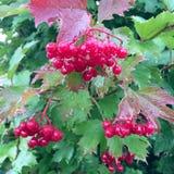 生长在与叶子绿色的灌木的甜红色莓果荚莲属的植物 图库摄影