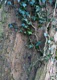 生长在与吠声纹理的一根山毛榉树树干的常春藤在冬天 库存图片