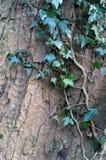 生长在与吠声纹理的一根山毛榉树树干的常春藤 免版税图库摄影