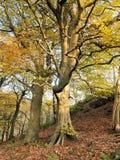 生长在与开始的叶子的一个陡坡的美丽的高庄严秋天山毛榉树转动金黄 免版税库存图片