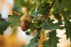 生长在与橙色10月的橡树的橡子的美丽的五颜六色的特写镜头在背景离开 库存照片