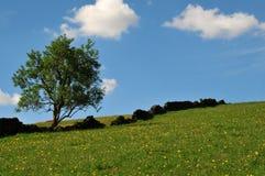 生长在与黄色花的草覆盖的小山的一棵唯一树与跑与蓝天的老石块墙倾斜 库存照片