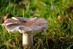 生长在丛的大型蘑菇草 库存照片