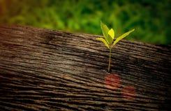 生长在中心树干的美丽的幼木作为新的生活的概念日出早晨, 库存照片