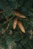生长在云杉的分支的球果 免版税库存照片