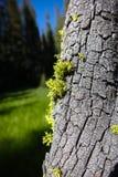 生长在优胜美地树皮的地衣 库存照片