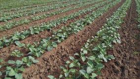 生长在农场的年轻圆白菜植物行  股票视频