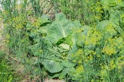 生长在农场的庭院里的圆白菜有大绿色叶子 免版税库存照片