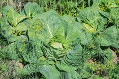 生长在农场的庭院里的圆白菜有大绿色叶子 库存图片