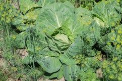 生长在农场的庭院里的圆白菜有大绿色叶子 免版税库存图片