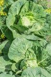 生长在农场的庭院里的圆白菜有大绿色叶子 图库摄影