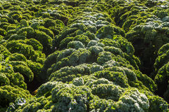 生长在农场的新鲜的无头甘蓝在冬时 免版税图库摄影