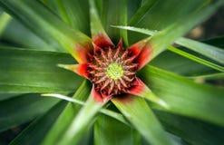 生长在农场的菠萝热带水果 库存照片