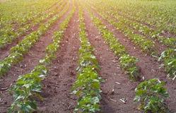 生长在农场的年轻绿色,不开花的向日葵的大领域 免版税库存图片