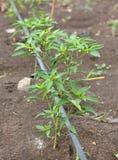 生长在农场的年轻辣椒树 免版税库存图片